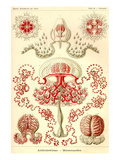 Anthomedusae Poster by Ernst Haeckel
