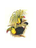 Rainbow or Keel Billed Toucan Art by John Gould