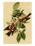 White Winged Crossbill Poster by John James Audubon