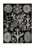 Lichens Prints by Ernst Haeckel