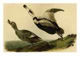 Pied Duck Prints by John James Audubon
