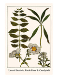 Laurel Seaside, Rock-Rose and Candytuft Posters by Albertus Seba