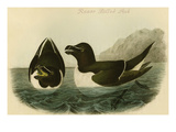 Razor Billed Auk Prints by John James Audubon