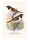 Magpie Mannikin or Pied Grass Fnch Poster by F.w. Frohawk