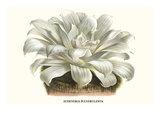 Chalk Lettuce Prints by Louis Van Houtte