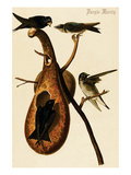 Purple Martin Posters by John James Audubon