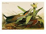Green Heron Prints by John James Audubon