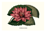 Crimson Water Lily Poster by Louis Van Houtte