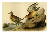 Buff Breastsed Sandpiper Posters by John James Audubon