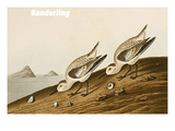 Sanderling Prints by John James Audubon