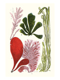 Seaweeds - Common Coralline Prints by James Sowerby