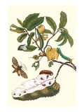 Custard Apple and Flower Moth Print by Maria Sibylla Merian
