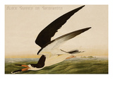 Black Skimmer or Shearwater Prints by John James Audubon