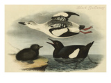 Black Guillemot Prints by John James Audubon