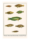 Wrasses, Three-Lined Rainbowfish, Greyhead Wrasse Prints by Albertus Seba