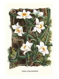 The Vanilla Orchid Prints by Louis Van Houtte