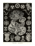 Sea Cucumbers Print by Ernst Haeckel