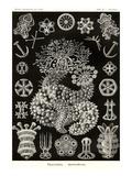 Sea Cucumbers Planscher av Ernst Haeckel