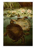 Turtles Posters by F.W. Kuhnert