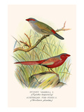 Sydney Waxbill and Australian Fire Finch Prints by F.w. Frohawk