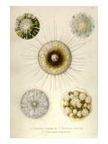 Aulacantha Scolymantha, Thalassicalla Zanclea, Thalassolampe Margarodes Konst av Ernst Haeckel