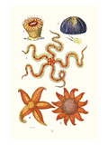Common Madrepore Coral, Sea Urchin, Brittlestar, Sun Star Prints by James Sowerby