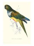 Patagonian Parakeet Macaw - Cyanoliseus Patagonus Kunstdrucke von Edward Lear