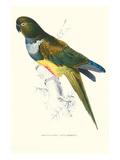 Patagonian Parakeet Macaw - Cyanoliseus Patagonus Láminas por Lear, Edward