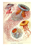 Jelly Fish Posters av Ernst Haeckel