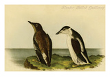 Slender Billed Guillimot Posters by John James Audubon