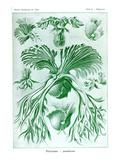 Ormbunkar Konst av Ernst Haeckel