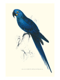 Blue and Yellow Macaw - Ara Ararauna Poster von Edward Lear