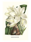 Crinum Giganteum - Medicinal Kunstdrucke von Louis Van Houtte