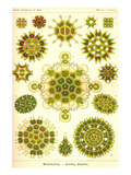 Green Algae Prints by Ernst Haeckel