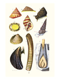 Sea Shells: Livid Top, Yellow Periwinkle,Wentletrap, Cockle, Razorshell, Mussel Prints by James Sowerby