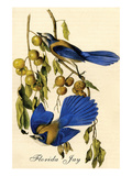 Florida Jay Prints by John James Audubon