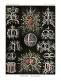 Stephoidea Posters by Ernst Haeckel