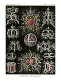 Stephoidea Print by Ernst Haeckel