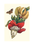 Banana Tree and Moths Premium Giclee Print by Maria Sibylla Merian
