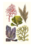 Seaweeds - Peacock's Tail Prints by James Sowerby