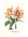 Amaryllis Poster by Louis Van Houtte
