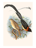 Paradise Whydah Posters by F.w. Frohawk