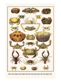 Elbow Crabs, Pepple Crabs, Xanthid Crabs, Mus Crabs, Squat Lobsters, Box Crabs, Spider Crabs Prints by Albertus Seba