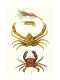 Spider Crab, Sand Skipper, Prawn, Velvet Swimming Crab Print by James Sowerby