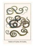 Snakes of Ceylon, Sri Lanka, Prints by Albertus Seba