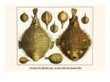 Porcupine Fish, Blowfish, Fugu, Burrfish, Puffer Fish, Banded Puffer Prints by Albertus Seba