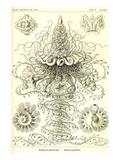 Siphoneae Hydrozoa Konst av Ernst Haeckel