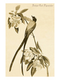 Forked Tail Flycatcher Prints by John James Audubon