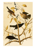 Rusty Grackle Posters by John James Audubon