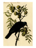 Common American Crow Premium Giclee Print by John James Audubon